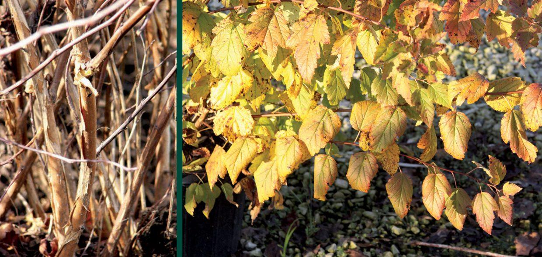 physocarpus shredding bark fall color