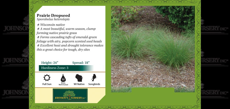 Prairie Dropseed Sporobolus heterolepis benchcard