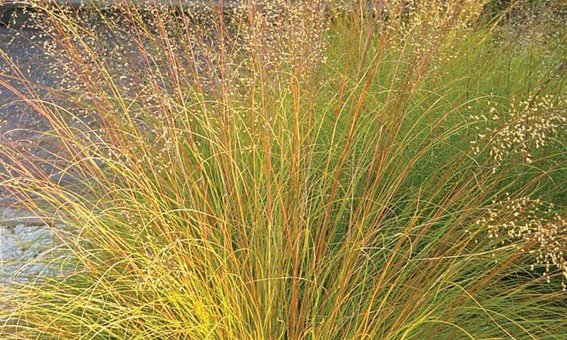 prairie dropseed sporobolus heterolepis ftimg