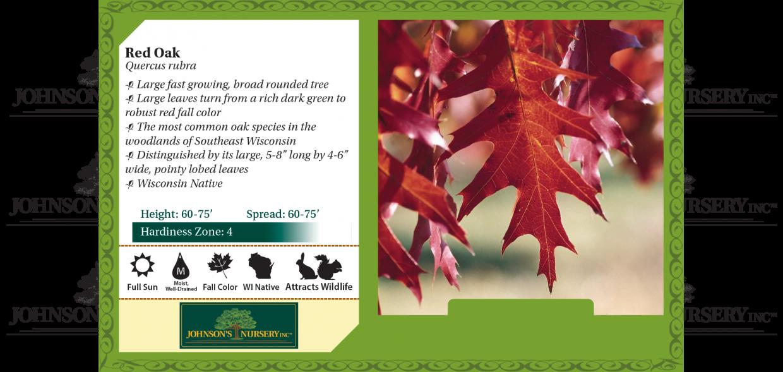 red oak quercus rubra benchcard