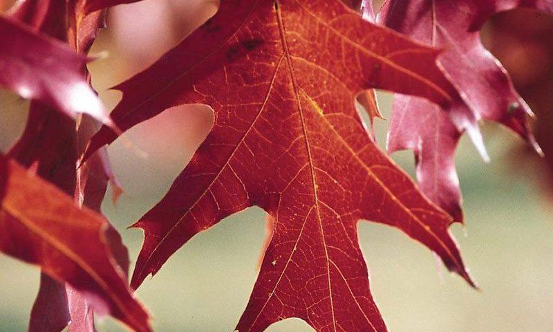 red oak quercus rubra ftimg