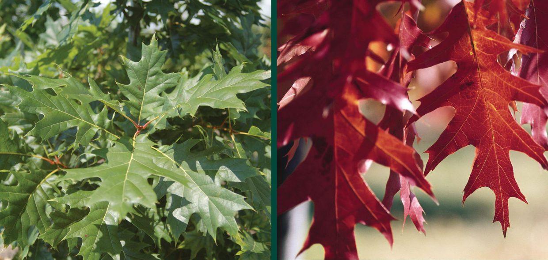 red oak quercus rubra