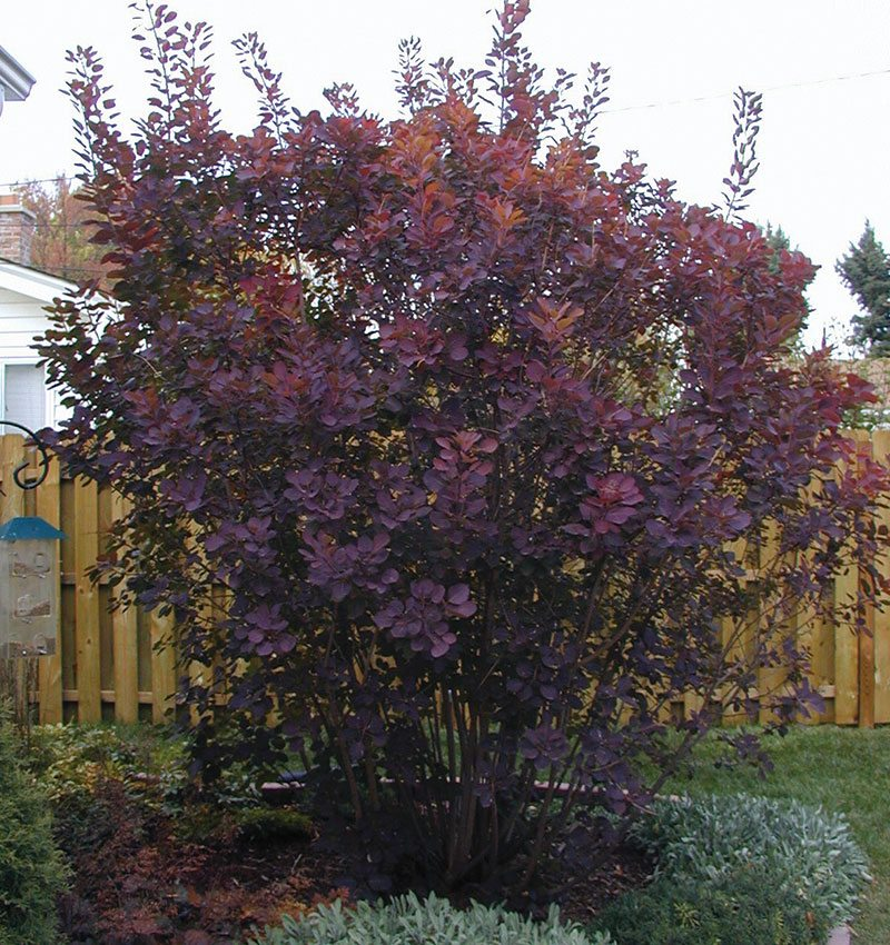 royal purple smokebush cotinus coggygria ftimg