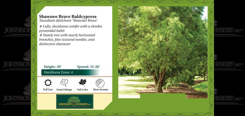 shawnee brave baldcypress taxodium distichum mickelson benchcard