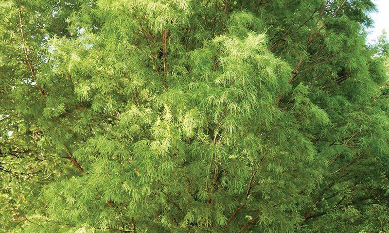 shawnee brave baldcypress taxodium distichum mickelson ftimg