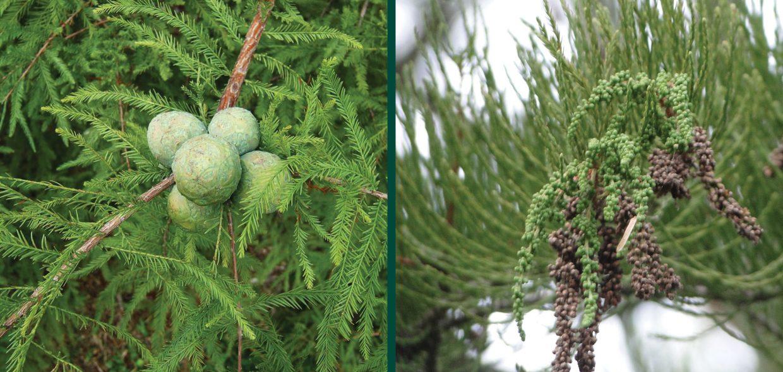 shawnee brave baldcypress taxodium distichum mickelson