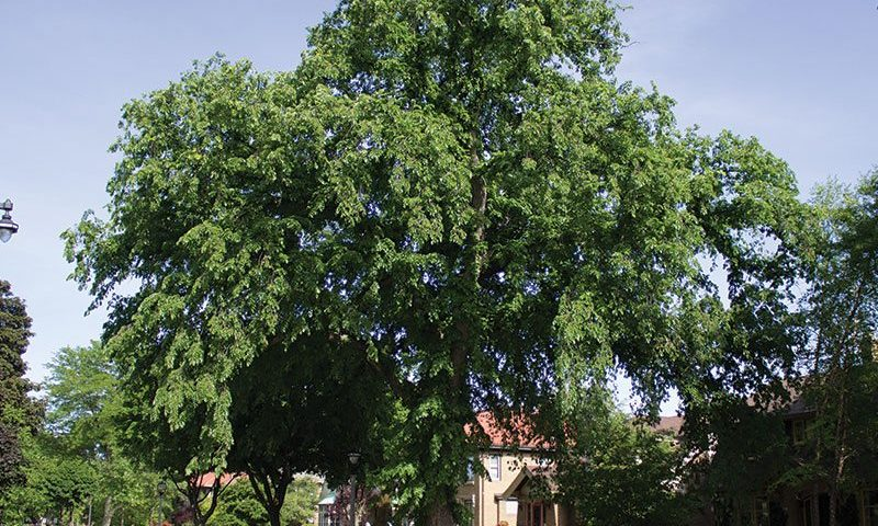 structure and disease resistance johnson's nursery urban approved plants ulmus elm ftimg