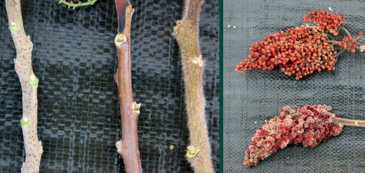 sumacs good bad beautiful sumac bark and flower comparison