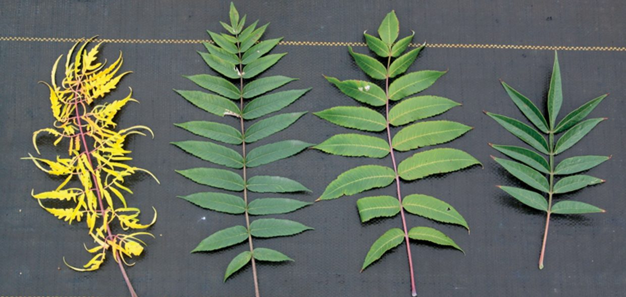 sumacs good bad beautiful sumac leaf comparison