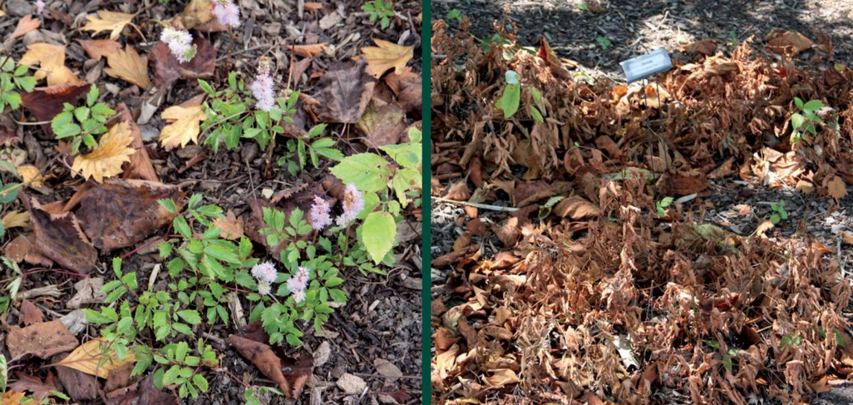 survive droughts going to drought school astlibe chinensis pumila recovering astilbe japonica ellie damage