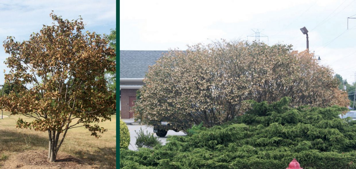 survive droughts going to drought school japanese tree lilac burning bush scorch damage