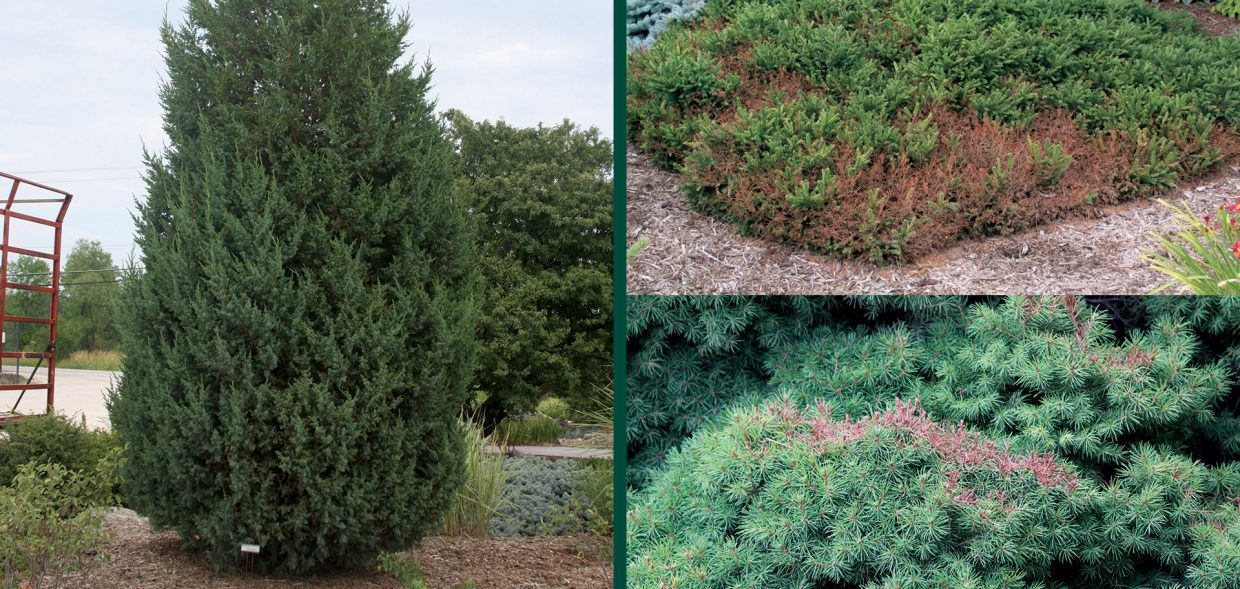 survive droughts going to drought school juniper picea plumila picea glauca browing