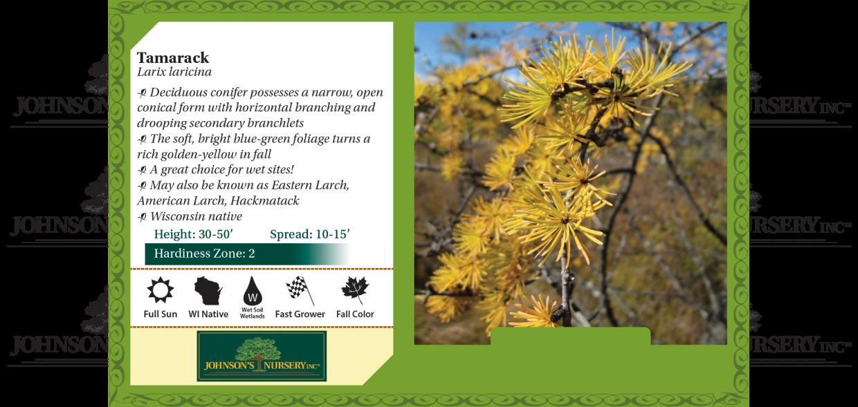 tamarack larix laricina eastern larch american larch hackmatack benchcard