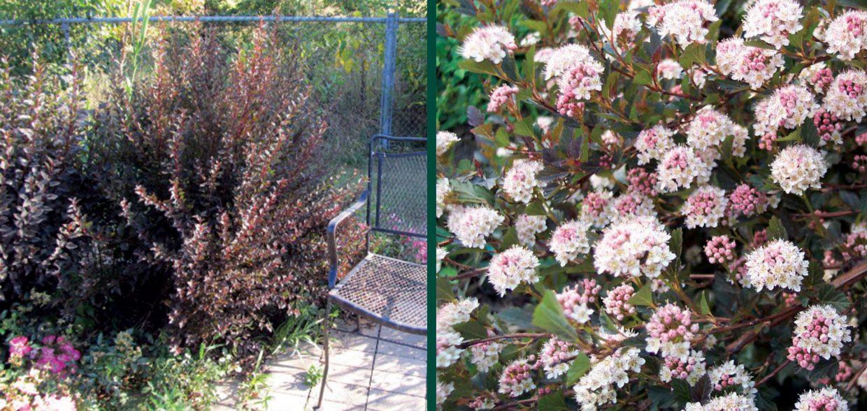 the original physocarpus opulifolius donna may little devil in david zlesak yard