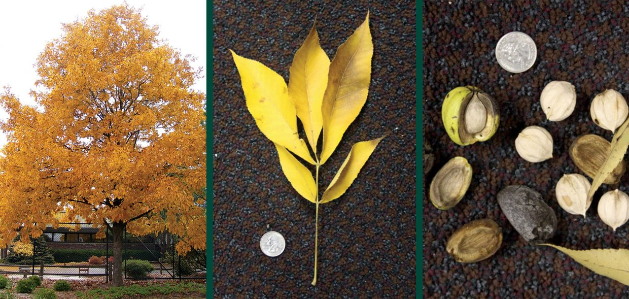 tree hickory shagbark carya ovata fall color leaf thick husks nuts