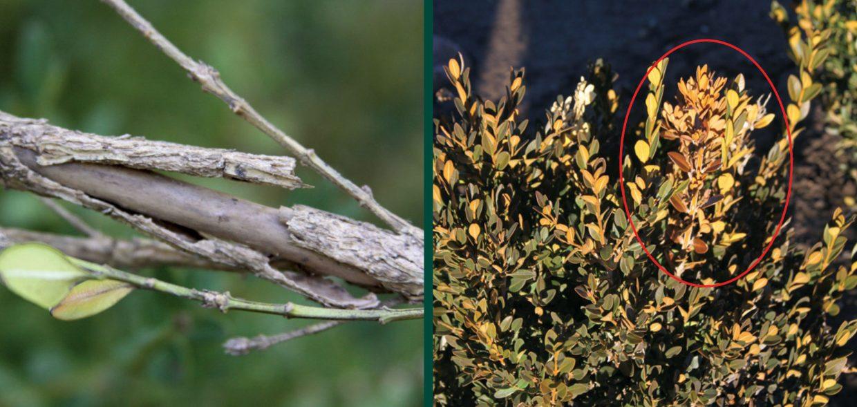 understanding cold hardiness bark splitting brown shoots