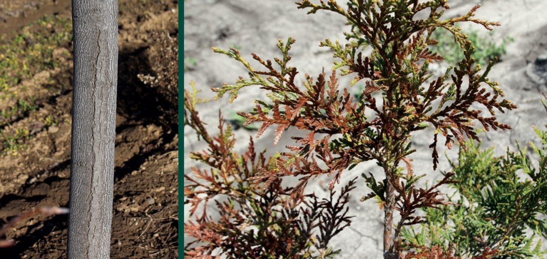 understanding cold hardiness sunscald tuliptree desication damage arborvitae