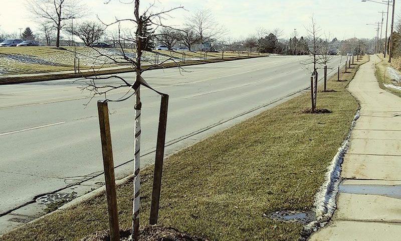 urban approved johnson's nursery wisconsin plants quercus schuettei hybrid swamp white bur oak ftimg