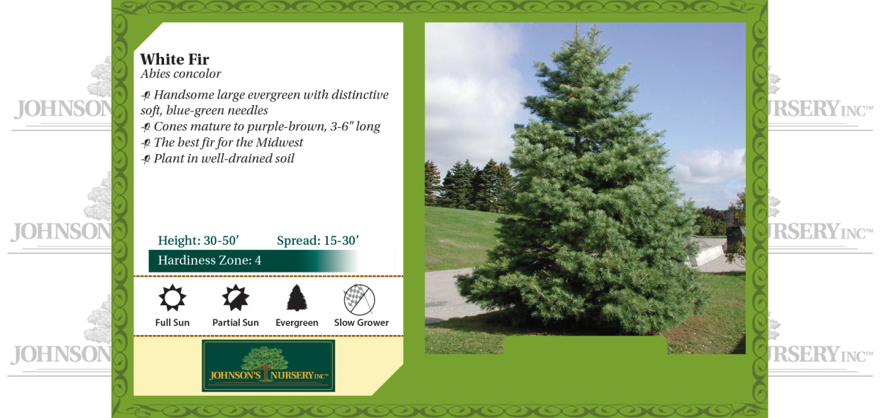 white fir abies concolor benchcard