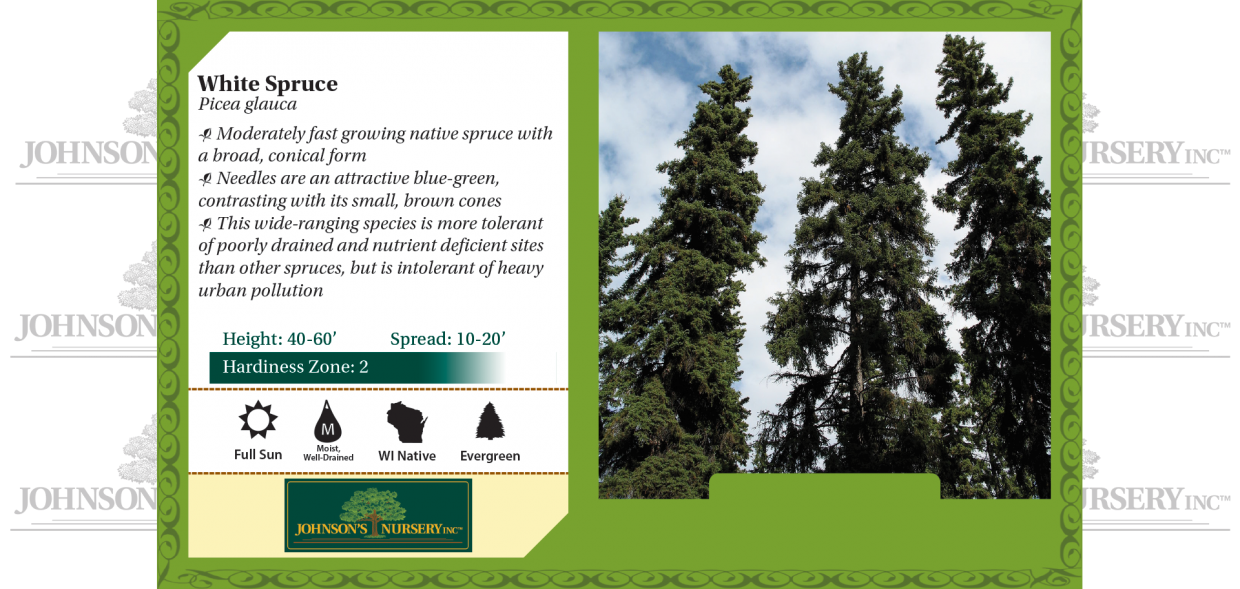 white spruce picea glauca benchcard