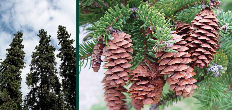 white spruce picea glauca waukesha