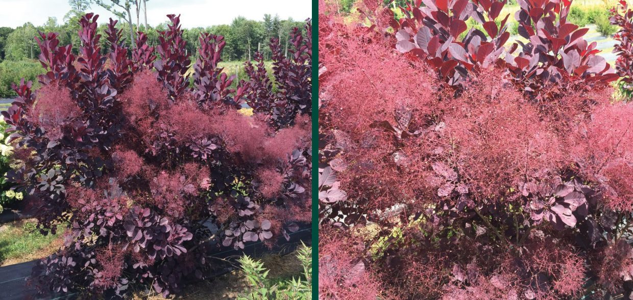 winecraft black smokebush cotinus coggygria NCCO1 PPAF