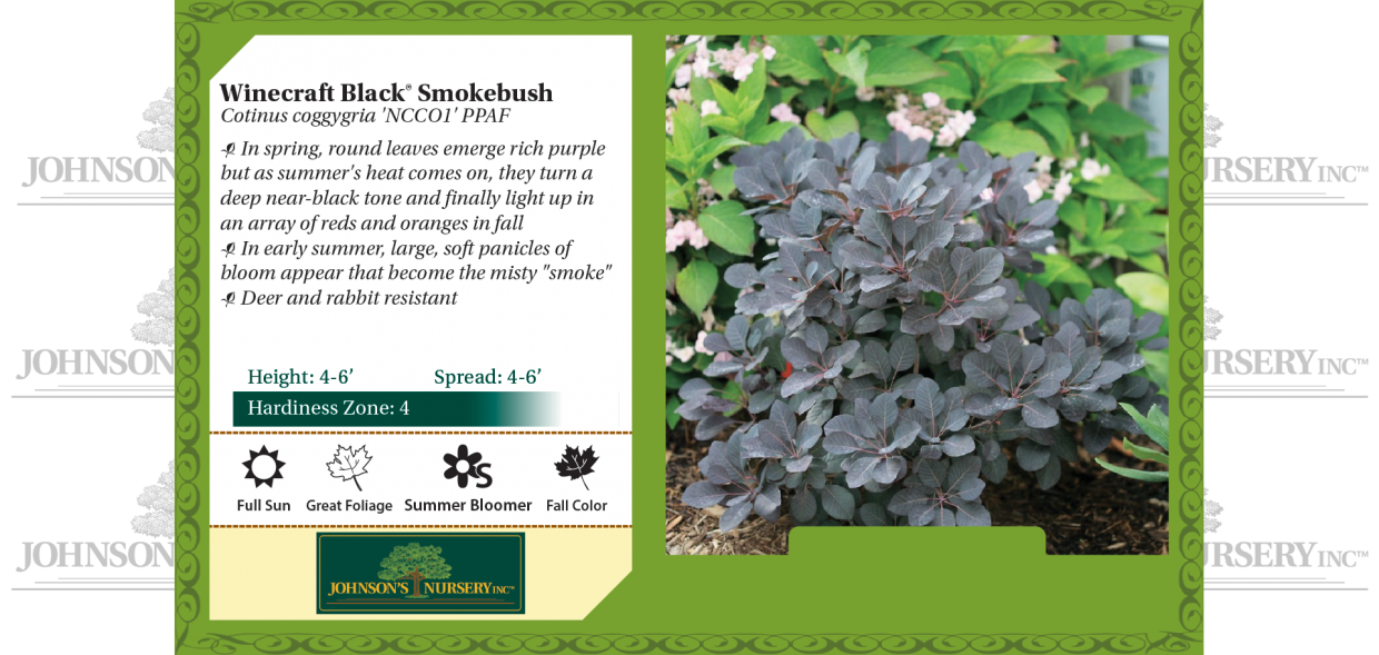 winecraft black smokebush cotinus coggygria NCCO1 PPAF benchcard