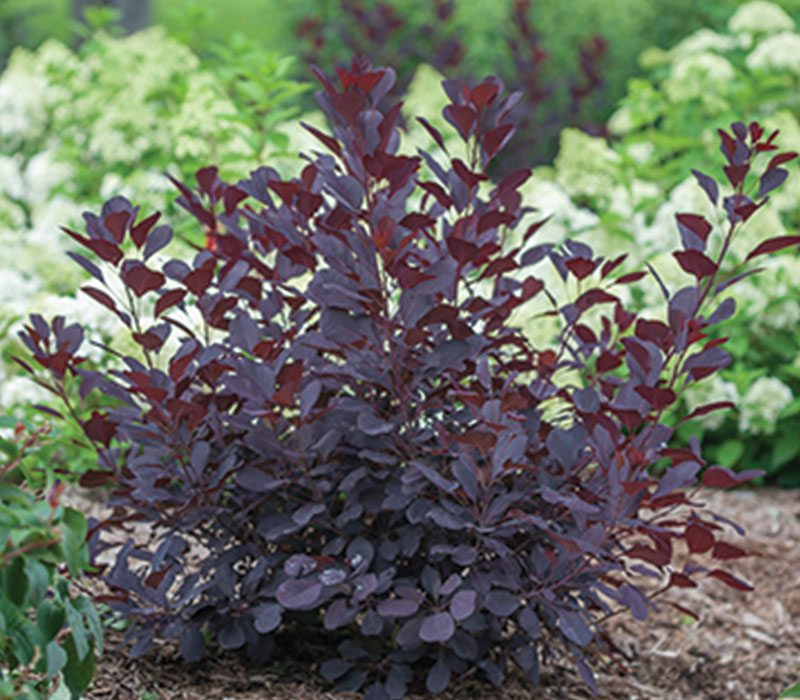 winecraft black smokebush cotinus coggygria NCCO1 PPAF ftimg