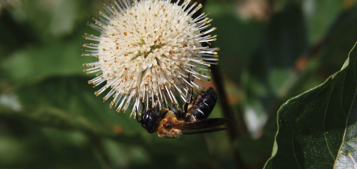baby plants plant sex buttonbush cephalanthus occidentalis pollinator bee