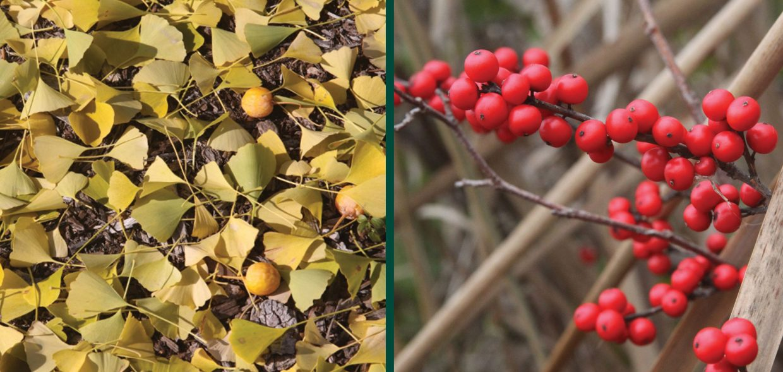 baby plants plant sex dioecious female ginkgo winterberry