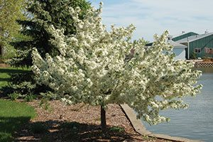 firebird crabapple malus sargentii select a catalog