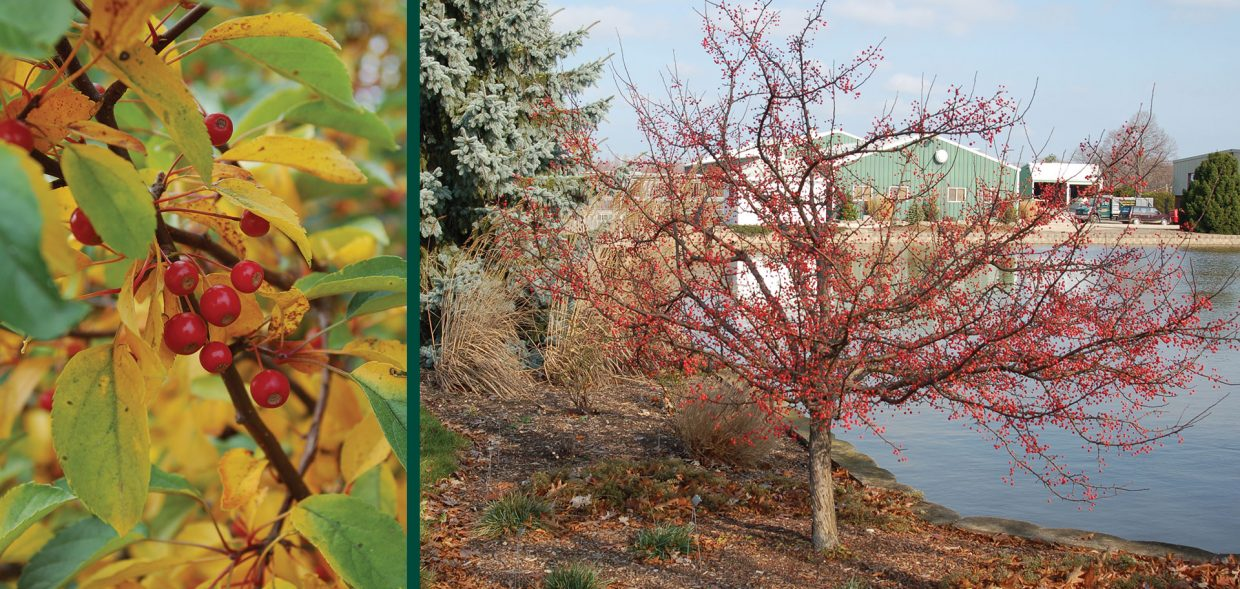 firebird crabapple malus sargentii select a fruit