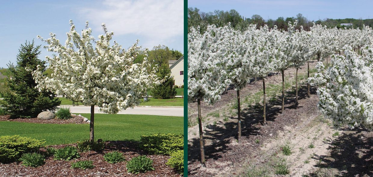 firebird crabapple malus sargentii select a landscape field grown