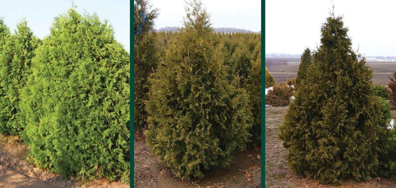 trautman plants herbert trautman arborvitae thuja occidentalis