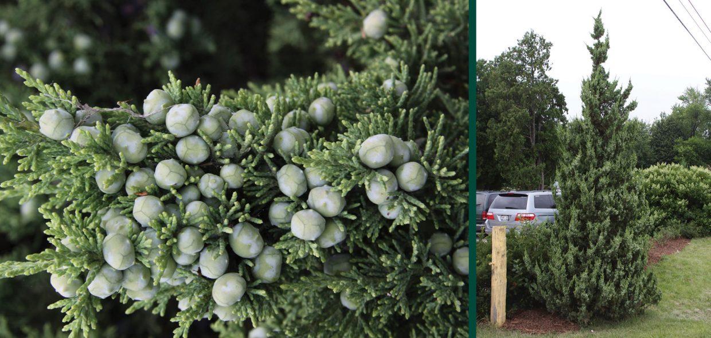 trautman plants herbert trautman chinese juniper juniperus chinensis