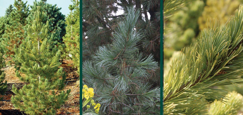 trautman plants herbert trautman pinus cembra big blue swiss stone pine