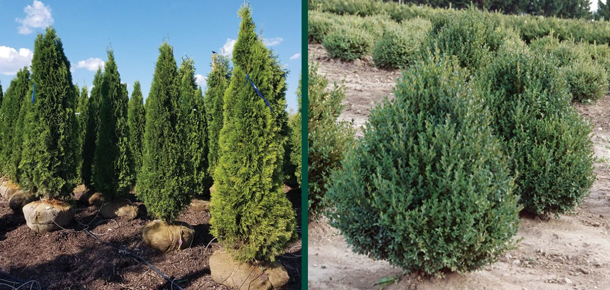 plant size investment mature plants height big trees specimen arborvitae boxwood