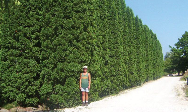 plant size investment mature plants height big trees specimen thuja occidenalis pyramidalis ftimg