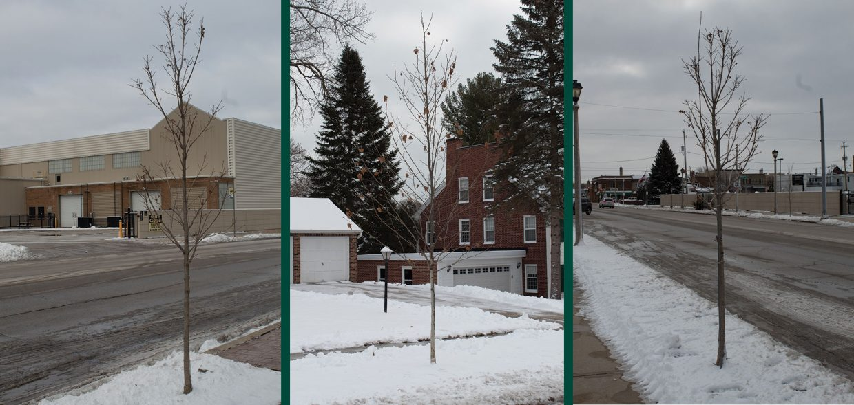 tree installations for municipalities mass planting road urban tree wisconsin