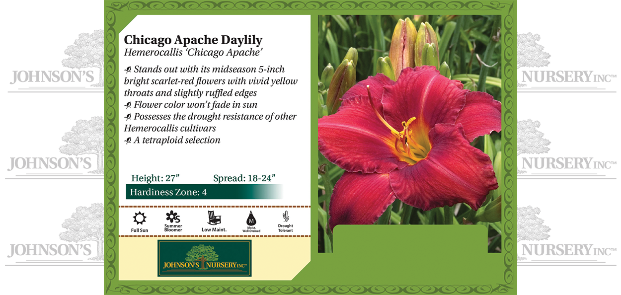 Chicago Apache Daylily Hemerocallis 'Chicago Apache' benchcard