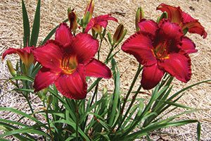 chicago apache daylily hemerocallis catalog