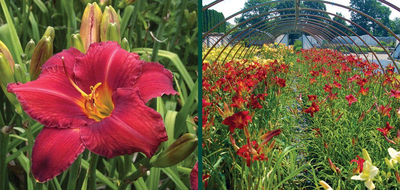 daylily daylilies day lily lilies hemerocallis chicago apache johnson's nursery menomonee falls