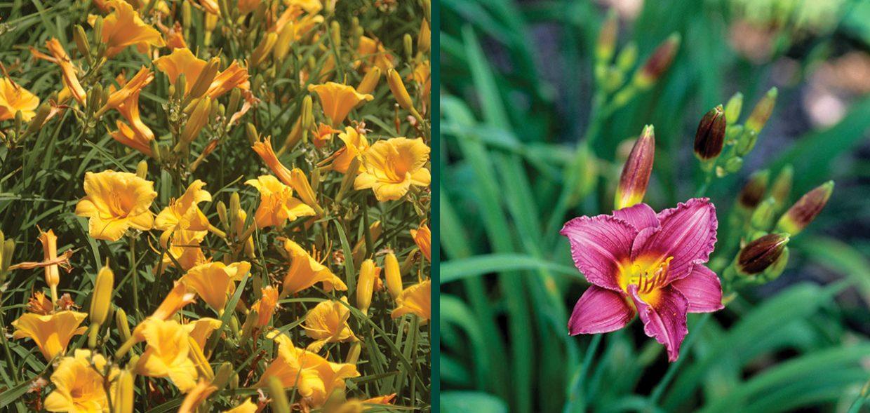 daylily daylilies day lily lilies hemerocallis stella de oro little grapette johnson's nursery menomonee falls
