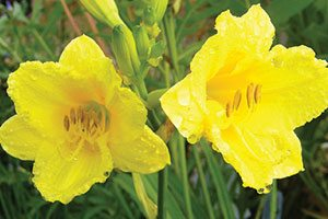 happy returns daylily hemerocallis catalog