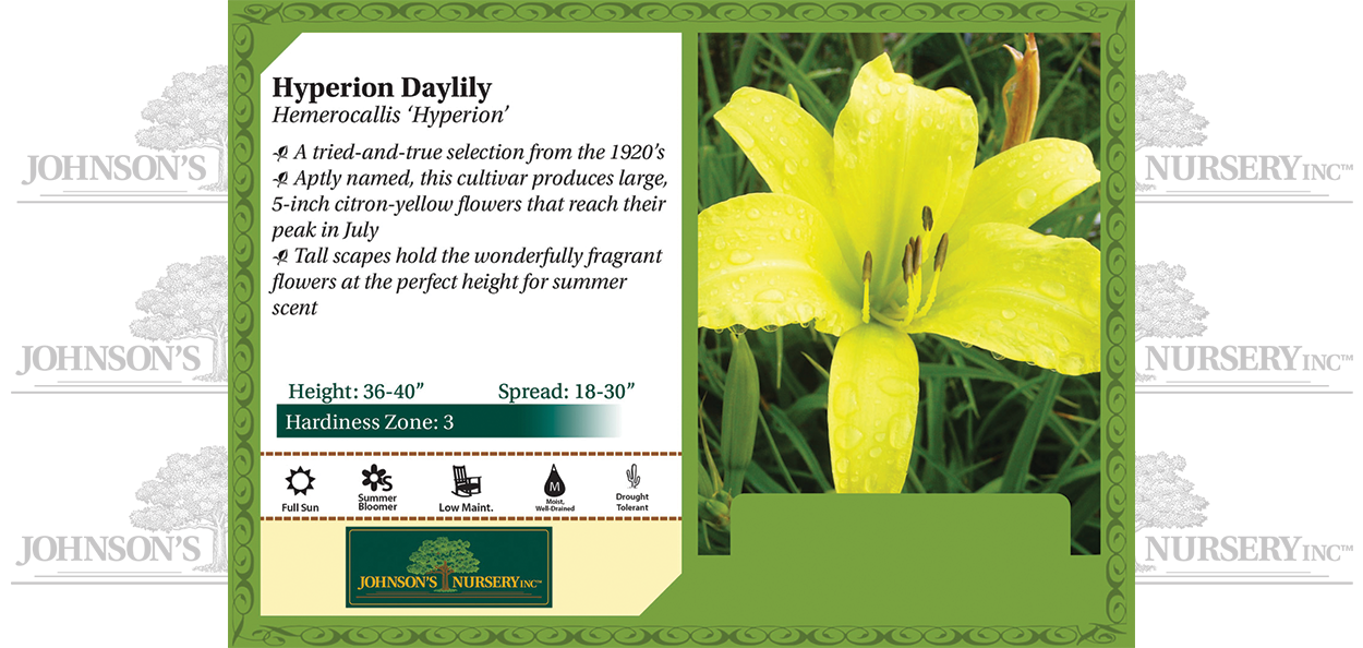 Hyperion Daylily Hemerocallis 'Hyperion' benchcard