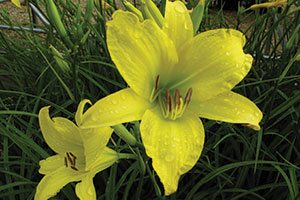 hyperion daylily hemerocallis catalog