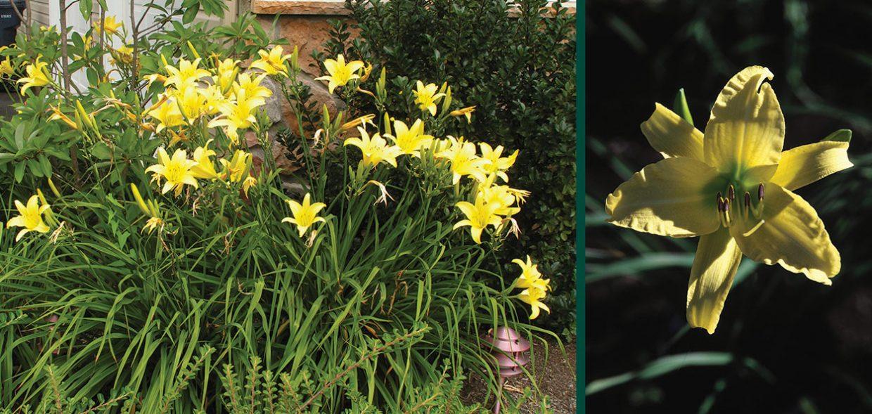 hyperion daylily hemerocallis milwaukee