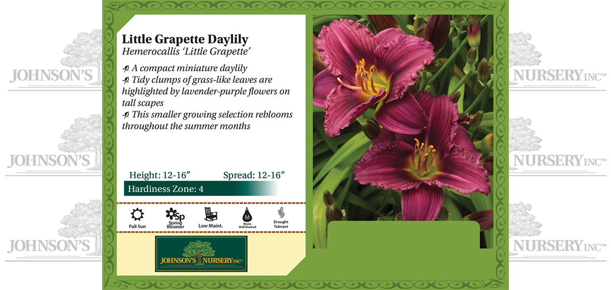 Little Grapette Daylily Hemerocallis 'Little Grapette' benchcard