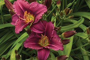 little grapette daylily hemerocallis catalog