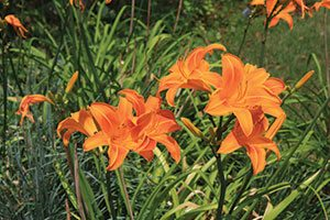 rocket city daylily hemerocallis catalog